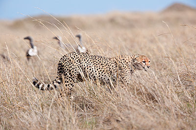 Cheetah in the high grass - p533m1225567 by Böhm Monika