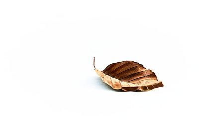 Single leaf against white background - p851m2205869 by Lohfink