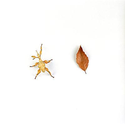 Gespenstschrecke - p6060152 von Iris Friedrich