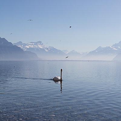 Schwan und Möwen auf dem Genfer See - p1138m1221980 von Stéphanie Foäche