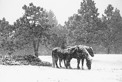 Three Horses in Snowstorm - p694m1192933 by James Gritz