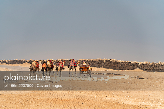 A horse and buggy and a group of camels on the street in the desert - p1166m2207900 by Cavan Images