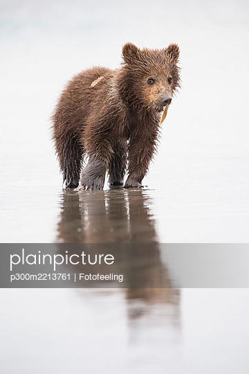 USA, Alaska, Lake Clark National Park and Preserve, Brown bear cub (Ursus arctos) eating a mussel - p300m2213761 by Fotofeeling
