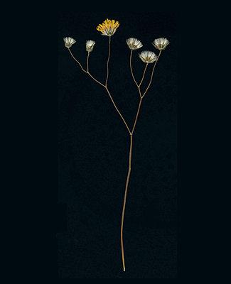 Gepresste Blume vor schwarzem Hintergrund - p436m1445506 von R. Petersen