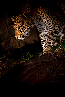 Leopard in tree at night, South Luangwa Valley National Park Zambia Africa - p651m2271125 by Paul Joynson Hicks photography