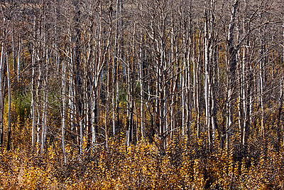Aspen tree forest - p719m1511407 by Rudi Sebastian