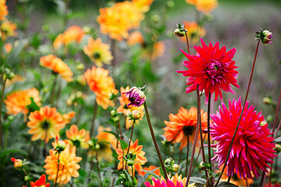 Orange and red dahlias in a flowering bed at an organic plant nursery.  - p1100m1178095 by Mint Images