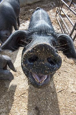Schweinenase - p1485m1572543 von susanne polzin