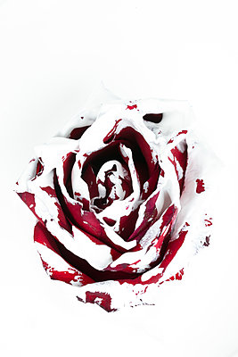 Red rose flower painted with white color  - p919m2195638 by Beowulf Sheehan