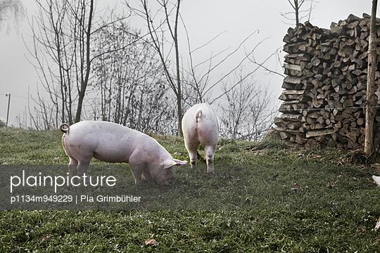 Schweine auf dem Feld - p1134m949229 von Pia Grimbühler