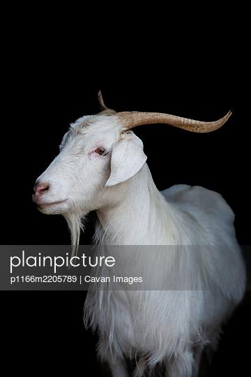 Cashmere goat looking sideways on black background - p1166m2205789 by Cavan Images