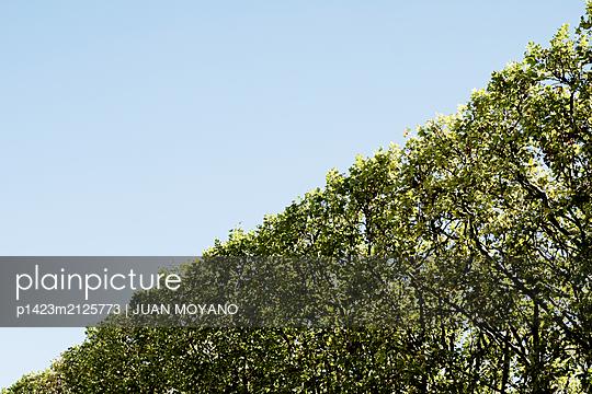 Tree windbreak against the blue sky - p1423m2125773 von JUAN MOYANO
