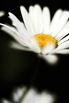 Closeup on white chamomile flower on black background. - p1166m2106379 by Cavan Images