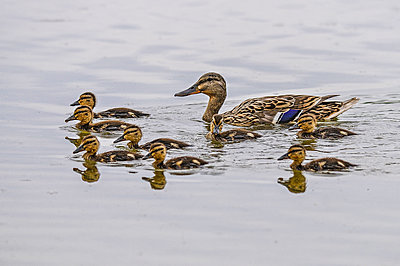 Female mallard with eight ducklings in water - p300m2023456 by Simona Pilolla