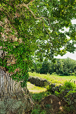 Ivy on tree, stone wall on background - p312m1024939f by Hans Berggren