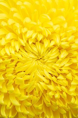 yellow spider mum chrysanthemum - p919m2204191 by Beowulf Sheehan