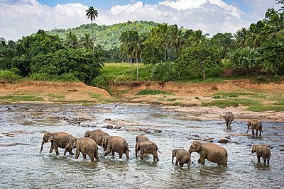 Elefanten im Fluss, Pinnawela - p524m1169106 von PM