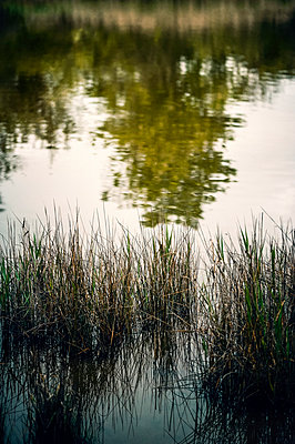 Reeds and tree reflected in river - p1047m2279934 by Sally Mundy