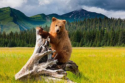 Brown bear - p1100m887876f by Art Wolfe