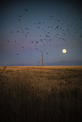 Flock of birds over cornfields at twilight - p1551m2199954 by André Eikmeyer