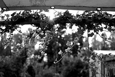 Sun behind ivy - p9440001 by melaniezwiehoff