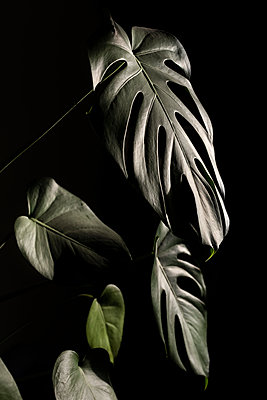 Philodendron leaves - p1059m2272722 by Philipp Reiss