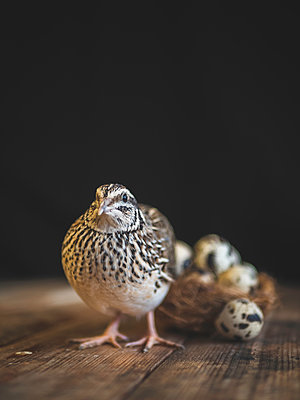 Quail next to a nest of eggs  - p1522m2064641 by Almag
