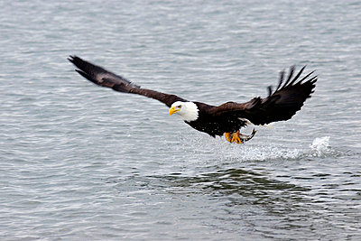 Bald Eagle With Fish - p4342904f by Donna Eaton