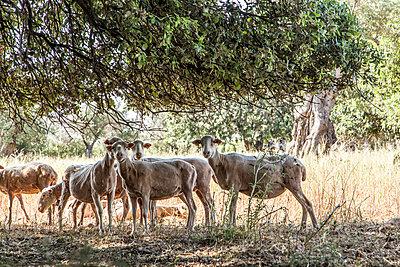 Schafe unterm Baum - p1021m1574961 von MORA