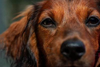 Close-up of red dachshund puppy - p1047m1588814 by Sally Mundy
