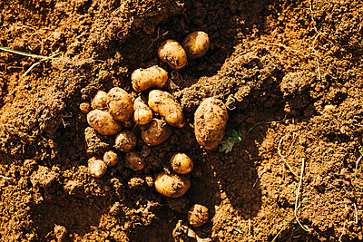 Potatoes on ground - p312m2162237 by Matilda Holmqvist