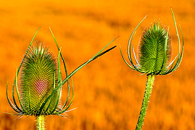 Close-Up Of Thistle Growing On Field - p343m1134387f by David Santiago Garcia