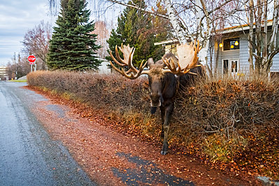 Bull moose stepping through a hedge in an Anchorage neighborhood, Southcentral Alaska, USA - p442m1442262 by Doug Lindstrand