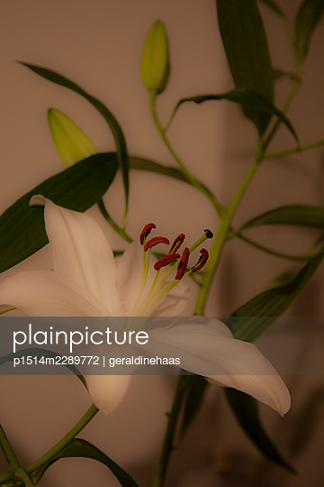 Lily - p1514m2289772 by geraldinehaas