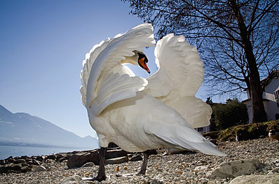 A swan ruffles it's feathers on the shore;Locarno ticino switzerland - p442m837653f by Mats Silvan
