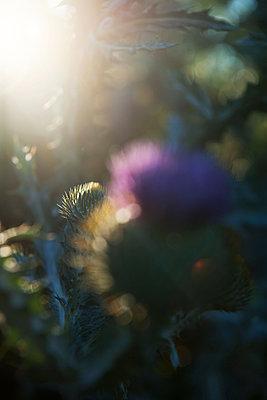 Thistle blossom with bud - p533m2065574 by Böhm Monika