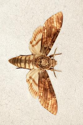 Moth  - p450m1119356 by Hanka Steidle