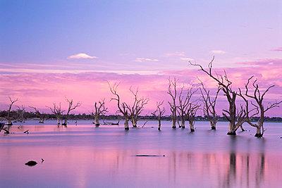 Dead trees, Lake Bonney, South Australia, Australia, Pacific - p8712193 by Jochen Schlenker