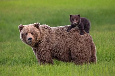 Grizzly Bear cub on mother's back, Lake Clark National Park, Alaska - p884m1136204 by Ingo Arndt