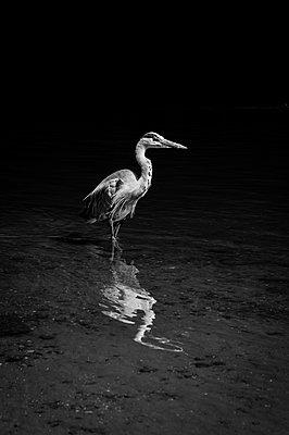 Grey heron - p1170m1559016 by Bjanka Kadic