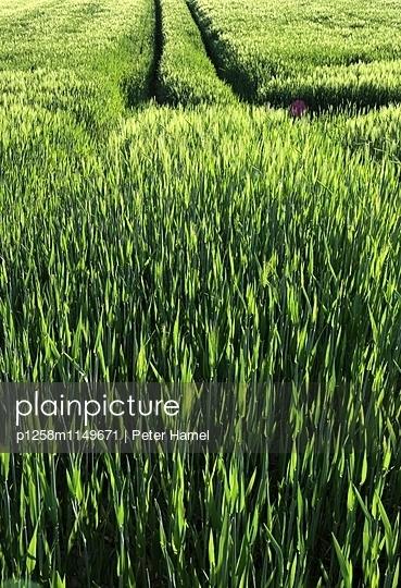 Getreidefeld mit Traktorspuren - p1258m1149671 von Peter Hamel