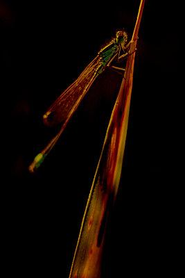 Damselfly (Ischnura genus), Provence, France - p1028m2204663 by Jean Marmeisse