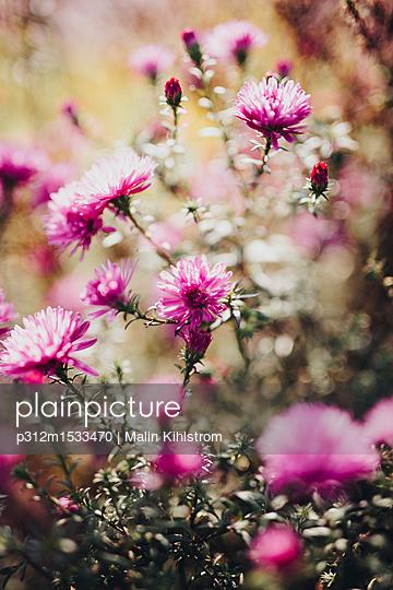plainpicture | Photo library for authentic images - plainpicture p312m1533470 - Purple flowers in garden - plainpicture/Johner/Malin Kihlstrom