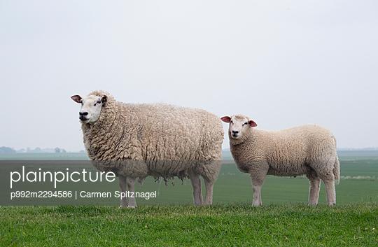Schafe auf dem Deich - p992m2294586 von Carmen Spitznagel