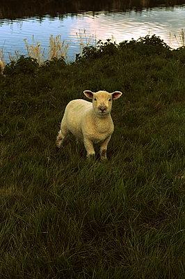 Sheep by the riverside - p1063m1134994 by Ekaterina Vasilyeva
