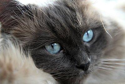 Kater mit blauen Augen - p1258m1109561 von Peter Hamel