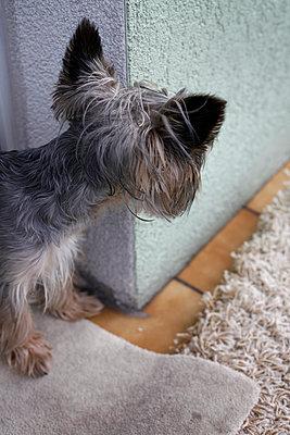 Pet dog looks around a corner - p1685m2272444 by Joy Kröger