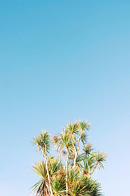 Palm tree against blue sky - p597m1564562 by Tim Robinson