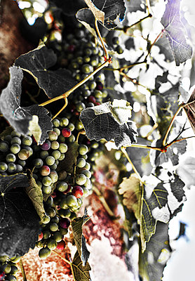Clsoe-up of Grapes - p075m1467862 by Lukasz Chrobok