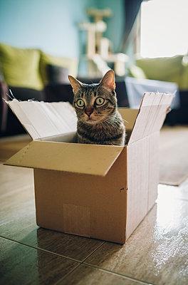 Tabby cat inside cardboard box - p300m1505840 by Ramon Espelt